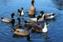 Some of our ducks -1/07