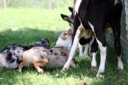 Ami Romanelli's photo of Tosca and Suede working cows- 6/07